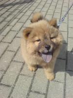 Foto 2 kleine chow chow welpin 09.03.2010 geboren
