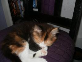 Foto 2 kleine main coon dame