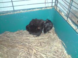 Foto 2 kleine süße meerschweinchen