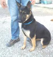 Foto 2 kleiner Schäferhund Mix PASTORA sucht ein Zuhause oder PS
