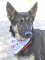 Foto 3 kleiner Schäferhund Mix PASTORA sucht ein Zuhause oder PS