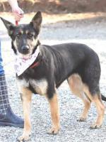 Foto 4 kleiner Schäferhund Mix PASTORA sucht ein Zuhause oder PS