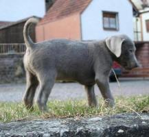 Foto 2 kleiner zarter silberner Labrador Welpe aus Familien Hausaufzucht mit 6 Kindern abzugeben