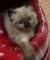 kleines Heilige Birma-Kitten weiblich in seal point sucht neues Heim