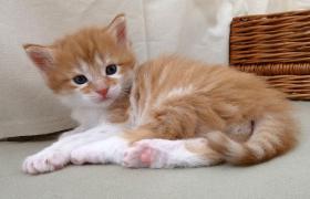 Foto 2 knuddelige Maine Coon Kitten aus getesteten Linien