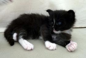 Foto 3 knuddelige Maine Coon Kitten aus getesteten Linien