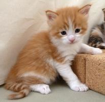 Foto 4 knuddelige Maine Coon Kitten aus getesteten Linien