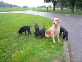 labrador - Hovawart - Welpen