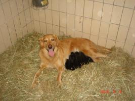 Foto 2 labrador - Hovawart - Welpen