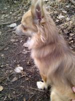 lieber Chihuahua Rüde umstandshalber abzugeben, 9 Monate alt