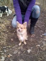 Foto 2 lieber Chihuahua Rüde umstandshalber abzugeben, 9 Monate alt