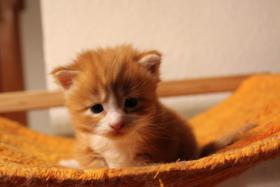 mainecoon kitten zum knuddeln