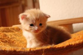 Foto 3 mainecoon kitten zum knuddeln