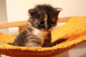 Foto 5 mainecoon kitten zum knuddeln