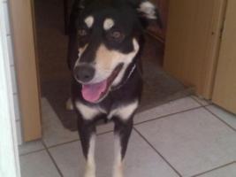 Foto 2 neuer Familienanschluss für 2-jährige Labrador-Mix-Hündin gesucht