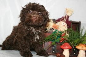 Foto 3 olonka Zwetna Welpen, Kleinhunde, Familienhunde