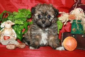 Foto 4 olonka Zwetna Welpen, Kleinhunde, Familienhunde