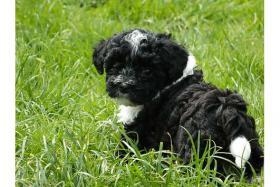 Foto 5 olonka Zwetna Welpen, Kleinhunde, Familienhunde