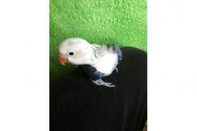 Foto 2 papagei