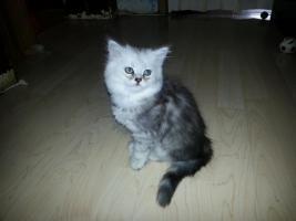 Foto 2 perser kitten