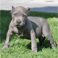 pitbull welpen
