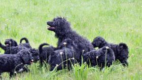 portugiesischeWasserhunde-Welpen