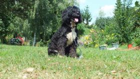 Foto 2 portugiesischeWasserhunde-Welpen