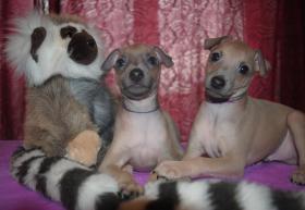 reinrassige Windhund-Welpen zu verkaufen