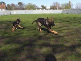 Foto 2 reinrassige schaeferhund welpen