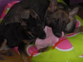 Foto 3 reinrassige schaeferhund welpen