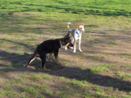 Foto 4 reinrassige schaeferhund welpen