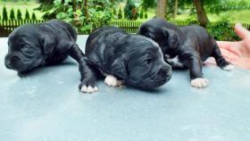 Foto 3 reinrassigePortugiesischeWasserhundeWelpenschwarz mit weißenAbzeichen