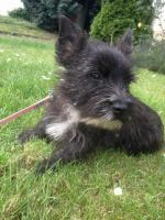 reinrassiger Cairn Terrier Rüde 12 Wochen