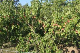 Foto 3 rotfleischiger Weinbergpfirsich, einheimische leckere Pfirsich-Früchte