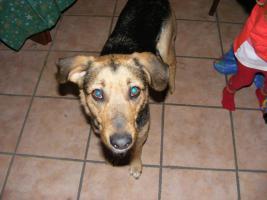 Foto 2 schäferhund mix in gute hände abzugeben !!!