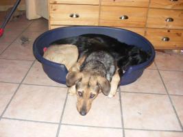Foto 3 schäferhund mix in gute hände abzugeben !!!