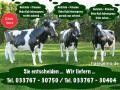 schenken sie doch mal ihrer Gattin ne Deko Holstein - Friesian Deko Kuh ...