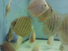 Foto 2 schöne diskusfische zu verkaufen