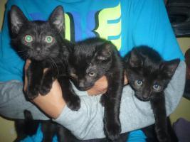 schwarze Katzenbabys(10 Wochen)