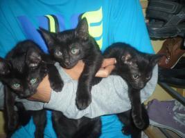 Foto 2 schwarze Katzenbabys(10 Wochen)
