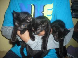 Foto 3 schwarze Katzenbabys(10 Wochen)
