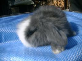 Foto 3 sehr süße Teddywidder abzugeben