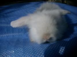 Foto 5 sehr süße Teddywidder abzugeben