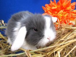 seltene Weißohrwidder Jungtiere handzahm und gesund