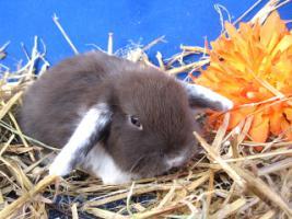 Foto 6 seltene Weißohrwidder Jungtiere handzahm und gesund