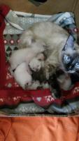 Foto 3 siam kitten
