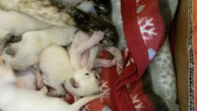 Foto 5 siam kitten