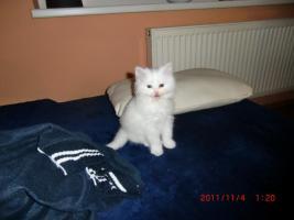 süße BKH - Kitten ab zu geben