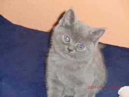 Foto 2 süße BKH - Kitten ab zu geben