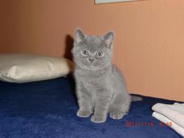 Foto 3 süße BKH - Kitten ab zu geben